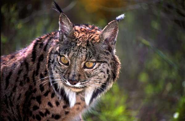Iberian lynx 7