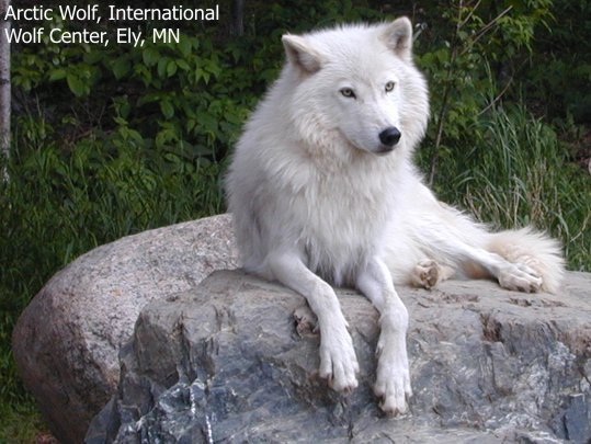 White wolf watching wolves 6002876 539 405