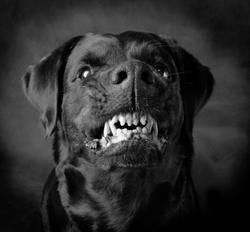 Jack hound