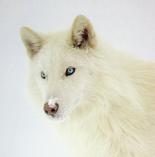 Beautiful white wolf with blue eyes wolves 6880194 505 509
