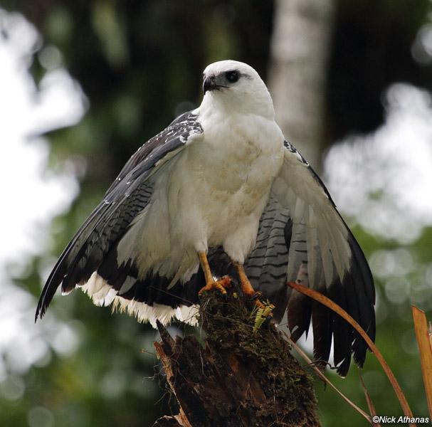 White hawk from Nangaritza. Leucopternis albicollis 9821