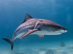 250px tiger shark