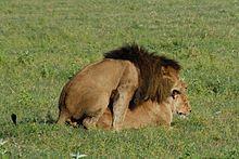 220px panthera leo  ngorongoro conservation area  tanzania  mating 8