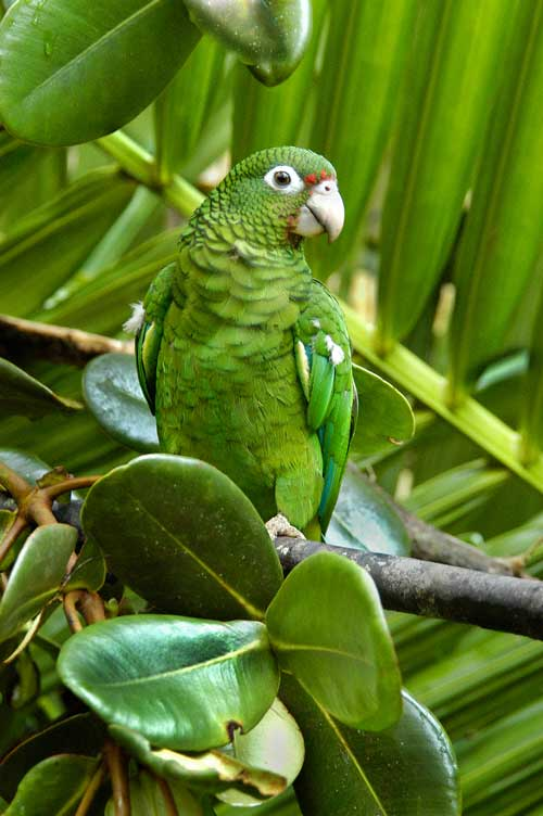 Emerald parrot