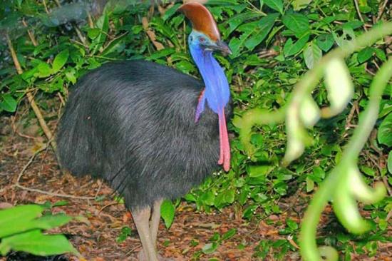 Western cassowary