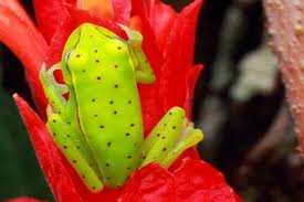 Yellow spotted tree frog