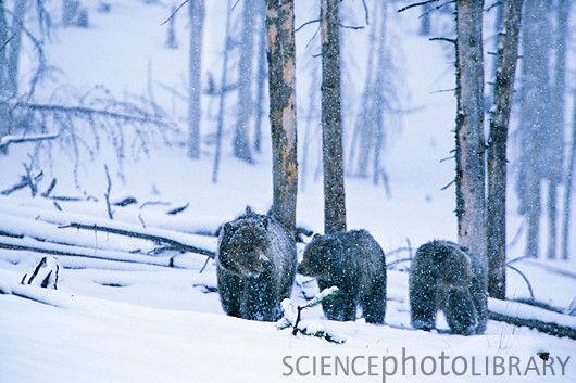 Z9270142 brown bear family spl